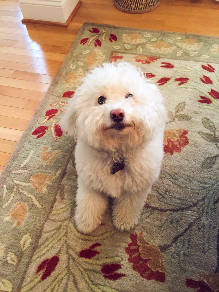 Einstein, a Bichon mix & Steady Dog Training client