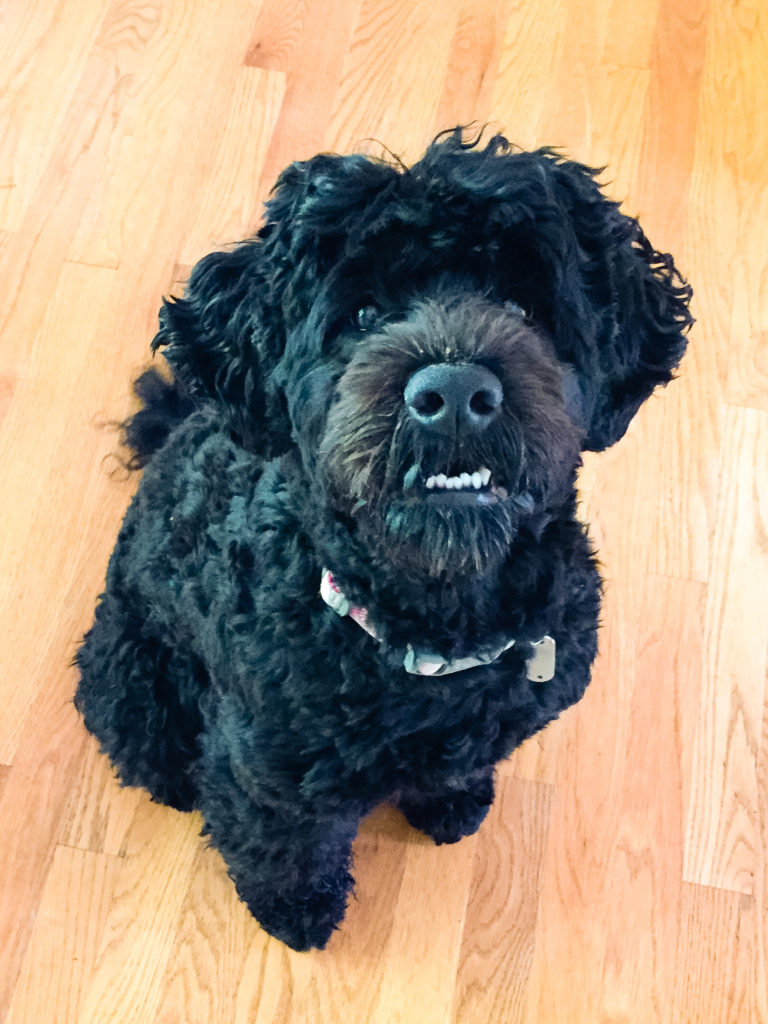 Molly, a Portuguese Water Dog, commonly called 'Porties'