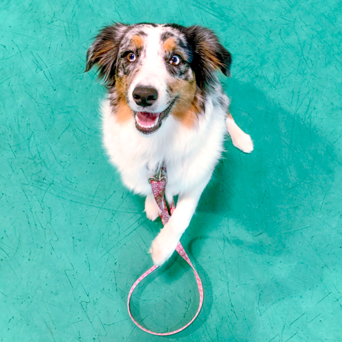 Bindi, an Australian Shepherd and Steady Dog Training Client.